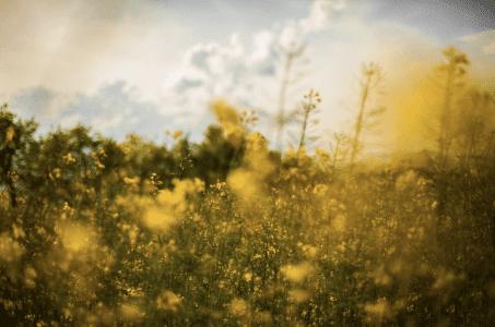 Pollen - CBD und Heuschnupfen